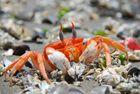 El cangrejo comiendo muy muy