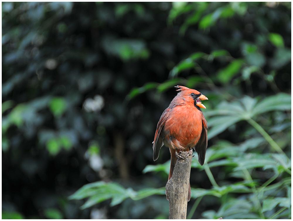 El canto del cardenal
