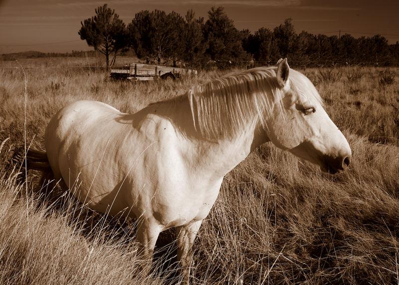 el cavallo