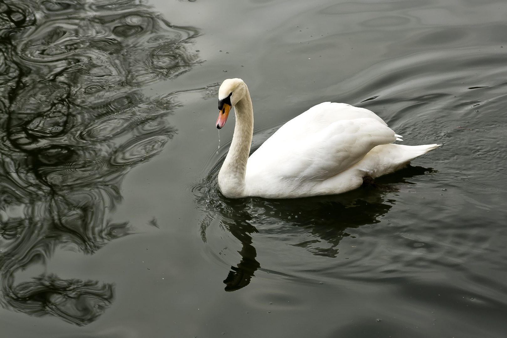 El Cisne de La Granja