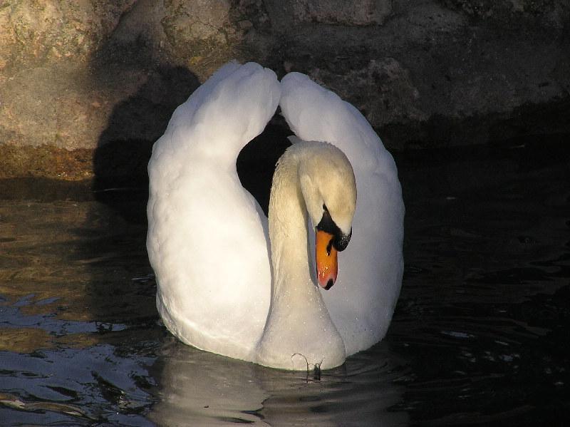 El Cisne ( der Schwan )