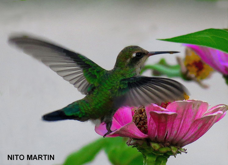 El colibrí de mi jardín