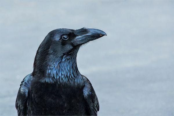 el cuervo