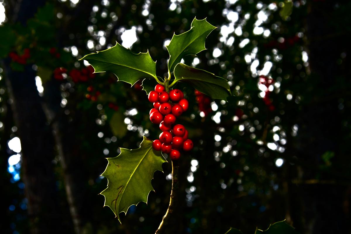 El fruto del acebo