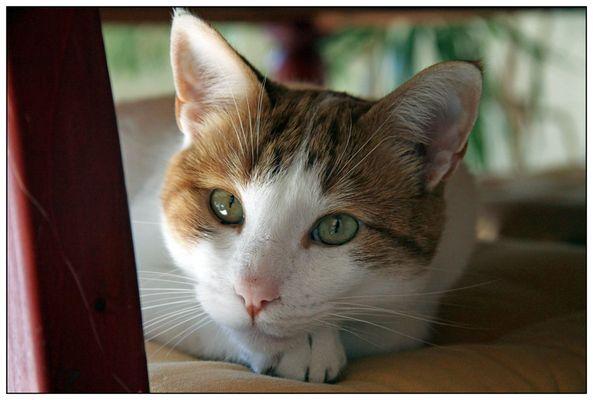 el gato español