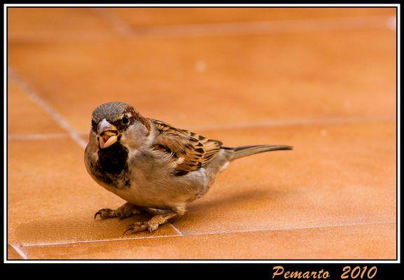 """El Gorrión """"glotón"""". Dedicado a Rafa Ramos, especialista en aves."""