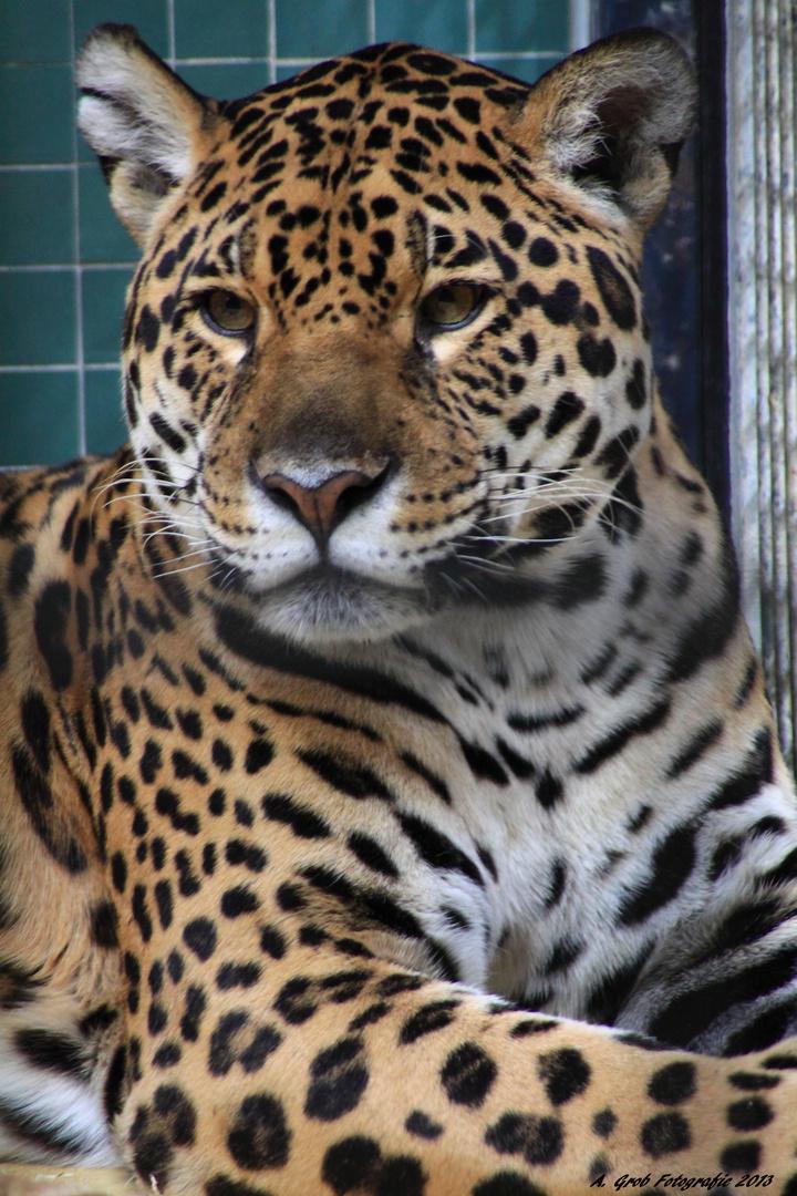 El Leopard