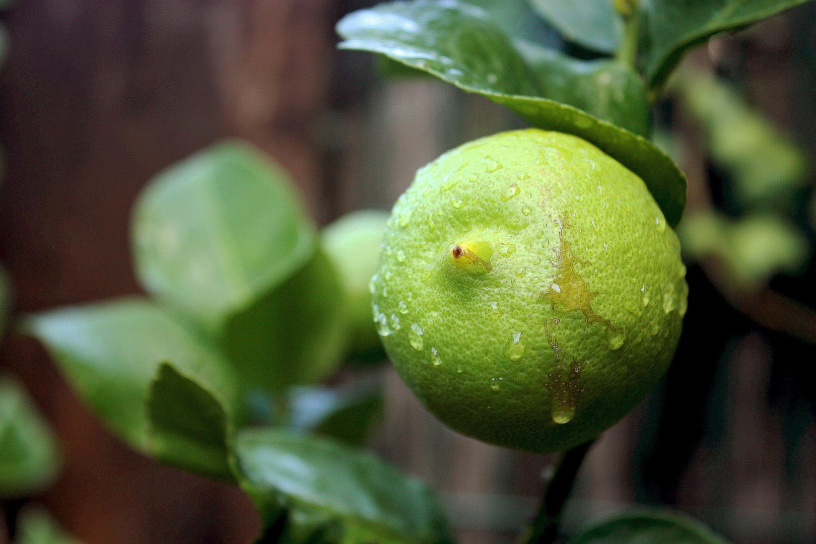 El llanto del limón