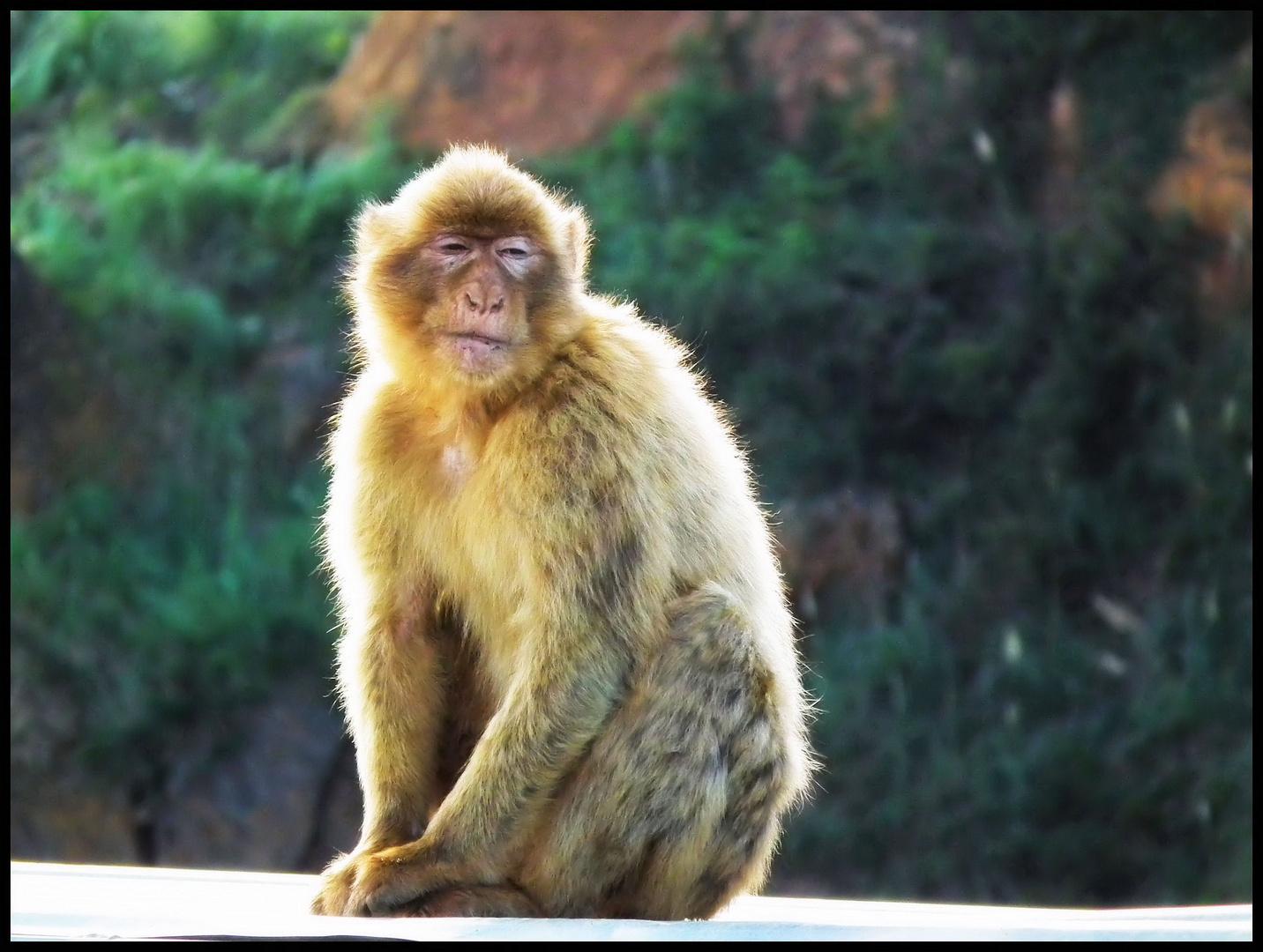 El mono borracho