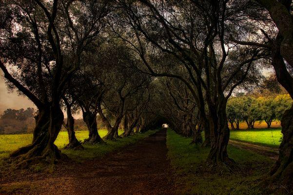 El paseo de los olivos