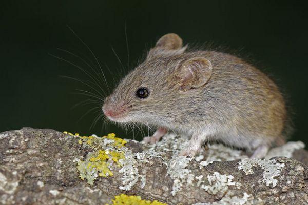 El pequeño ratoncito