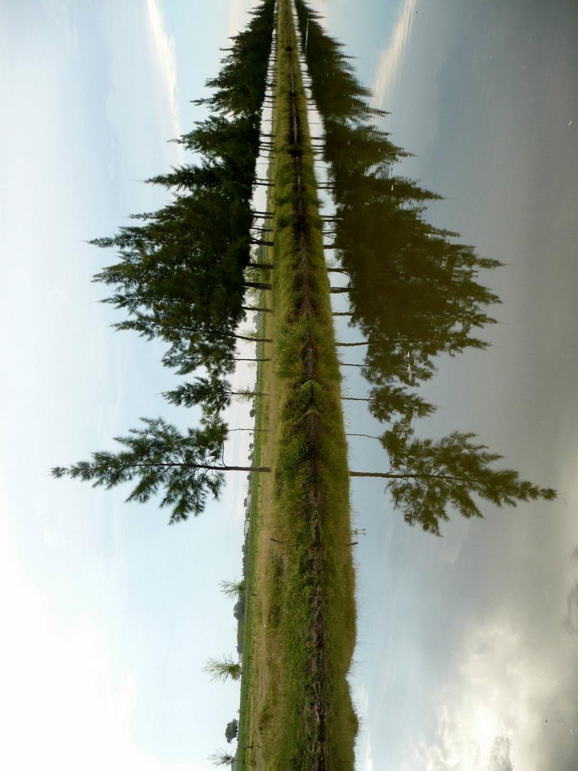 El pino de mis sueños