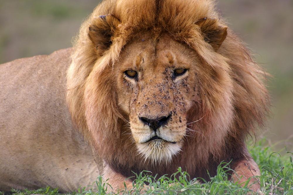 El rey de la sabana