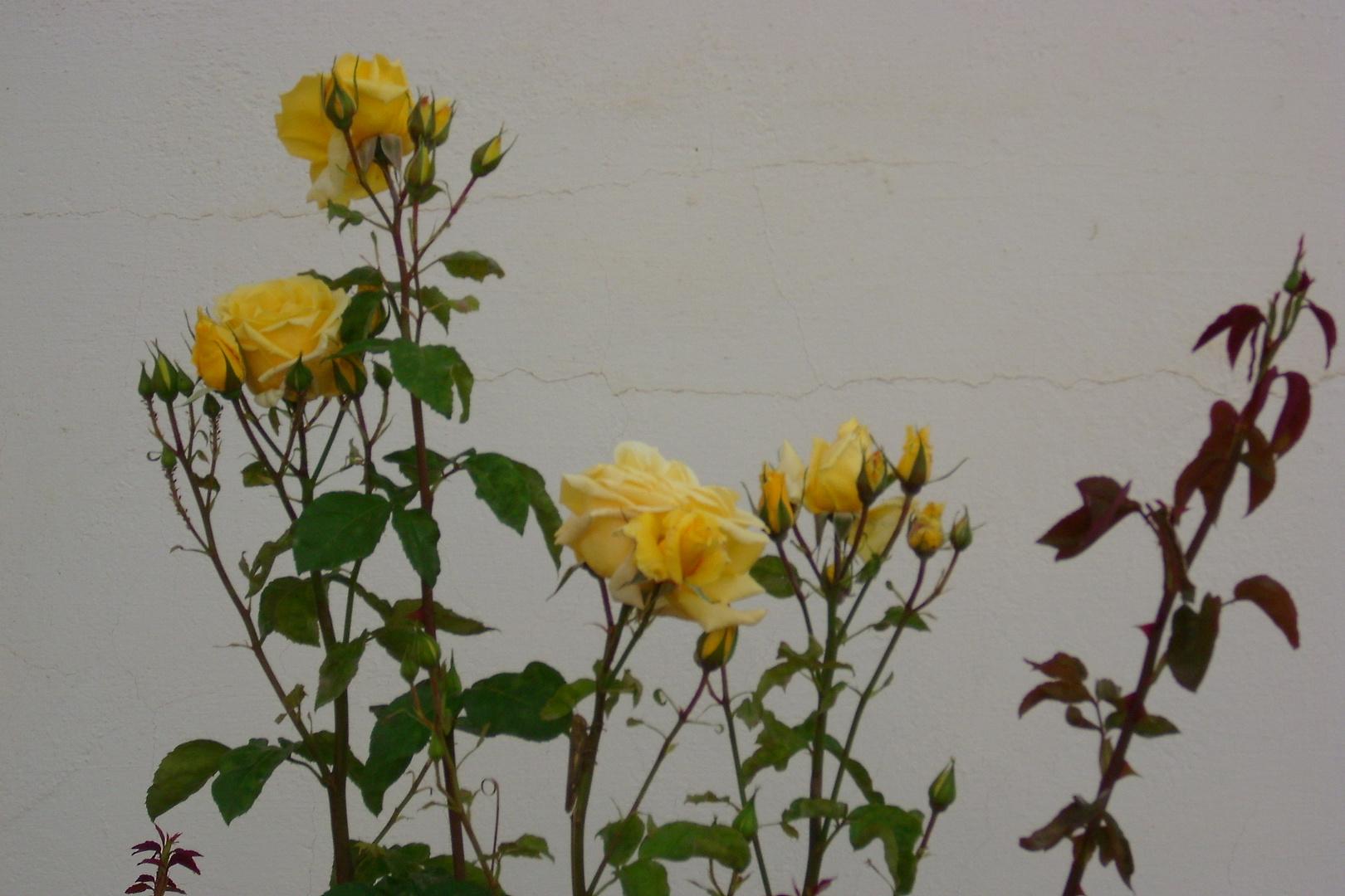 El rosal amarillo