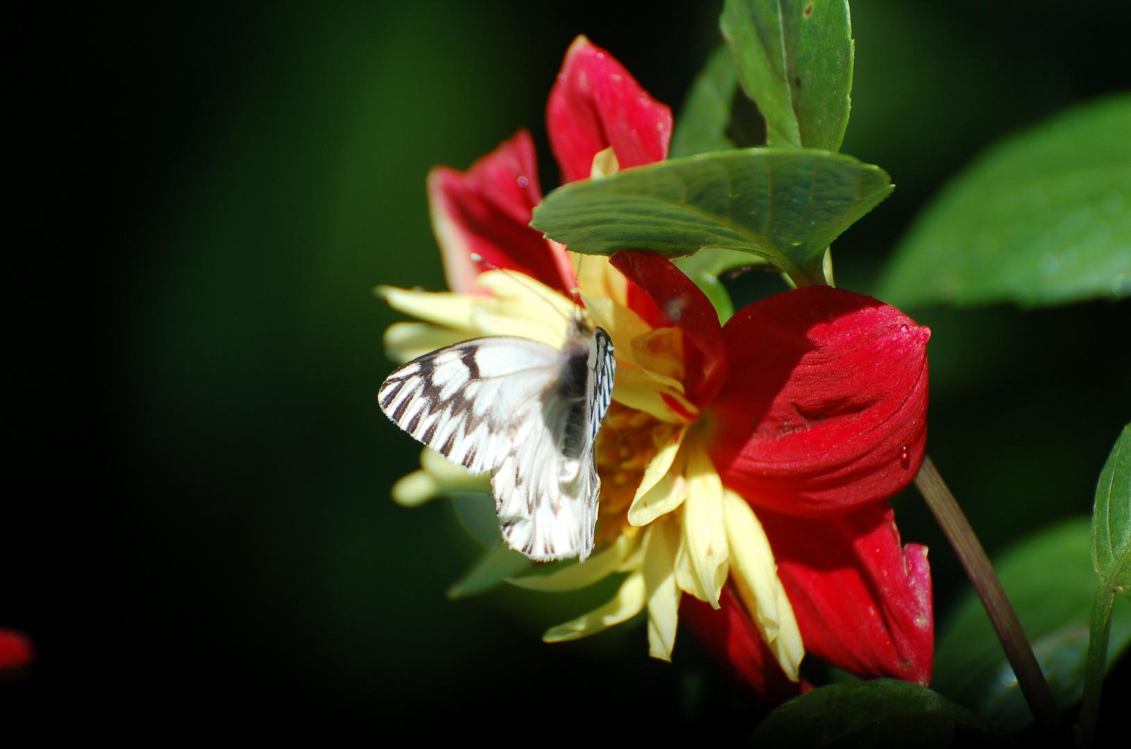 el suave aleteo de la mariposa en una mañana de verano