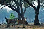 Eland-Antilopen