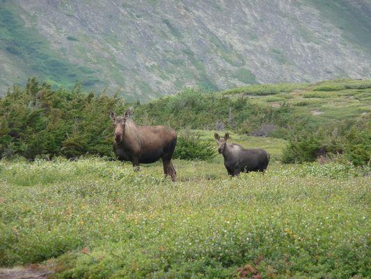 Elans - Alaska