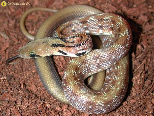 Elaphe helena (Indische Schmucknatter)
