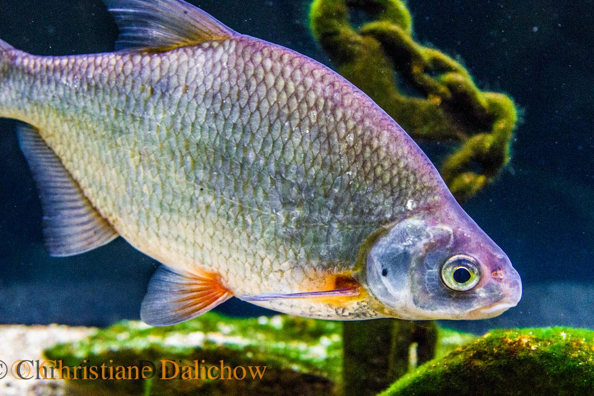 Elbefische