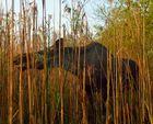 Elch im Biebrza Nationalpark