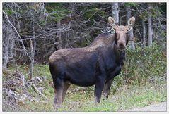 Elch im Cape Breton Nationalpark