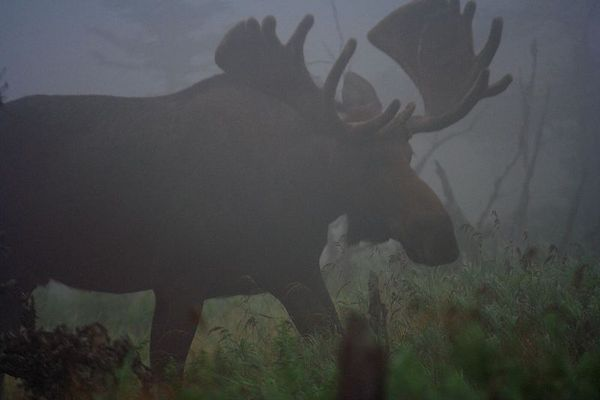 Elch im Nebel