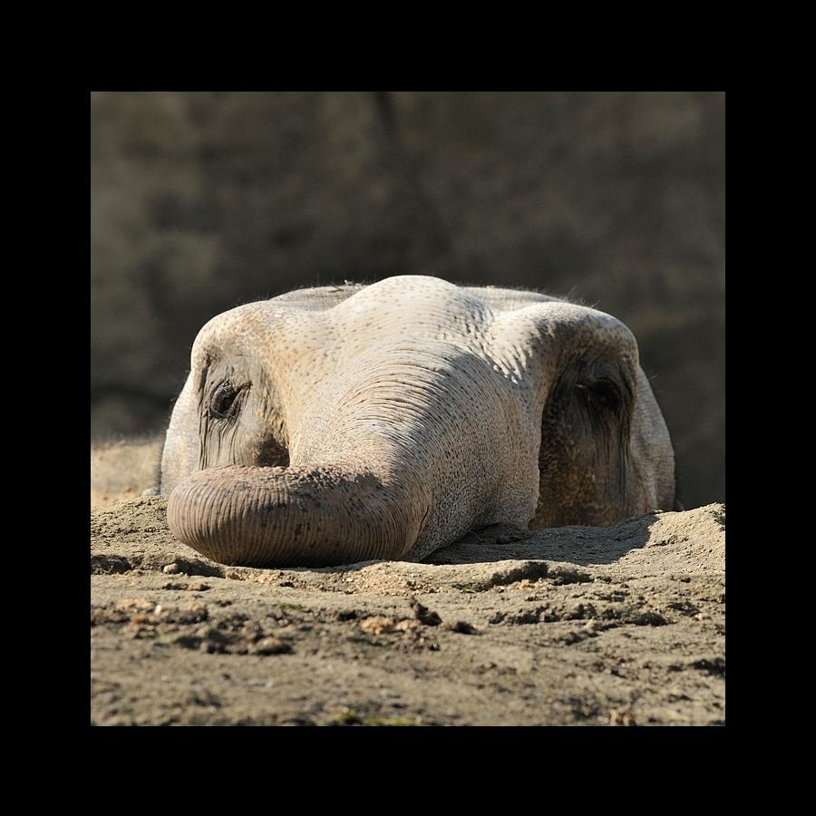 Elefant [08]