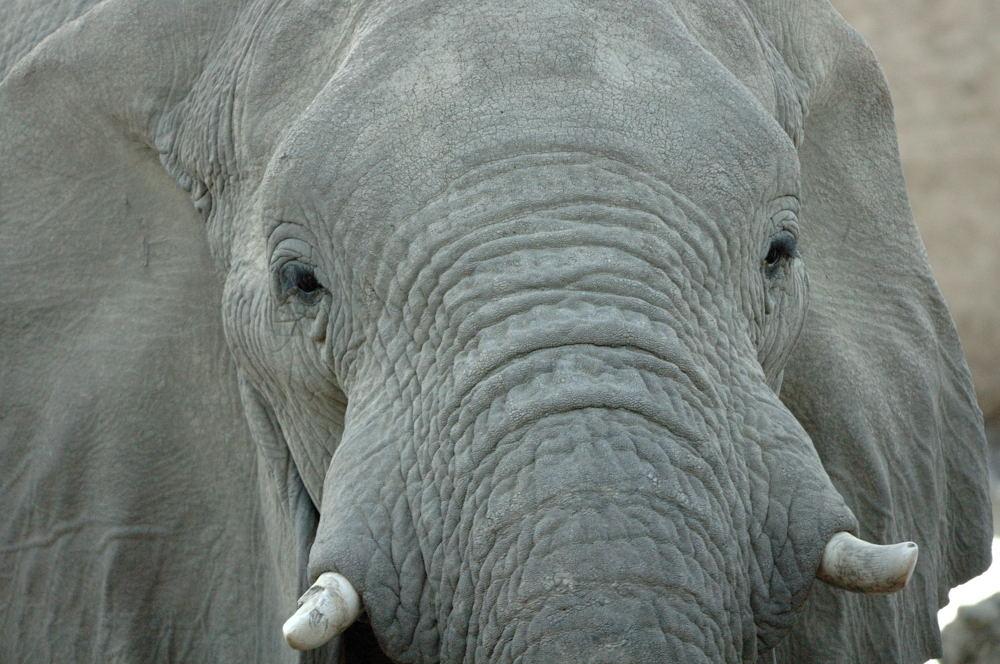 Elefant 4