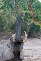 Elefant am Fressen
