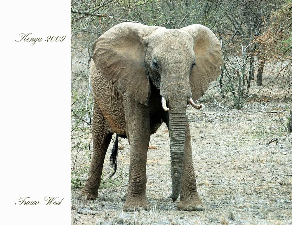 Elefant aus Kenia