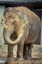 Elefant bei der Morgenwäsche