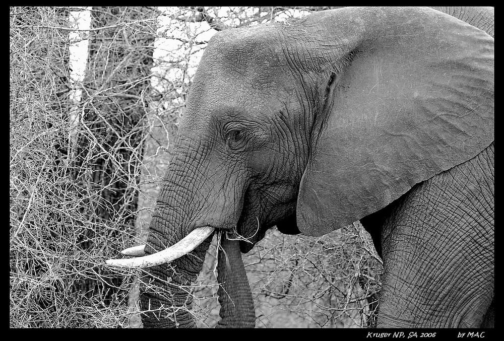 Elefant I, Krüger National Park, SA 2006