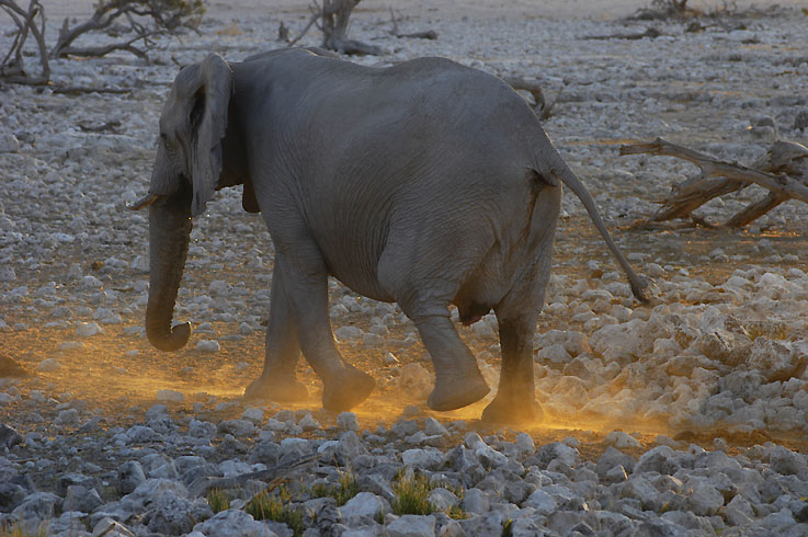 Elefant im abendlichen Gegenlicht