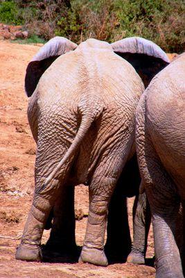 Elefant im Krüger Nationalpark, Südafrika