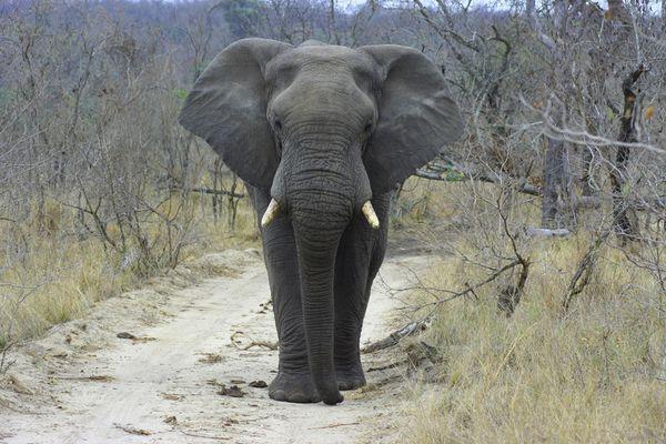 Elefant im Krüger Park (Südafrika)