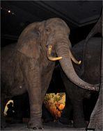 Elefant im Museum
