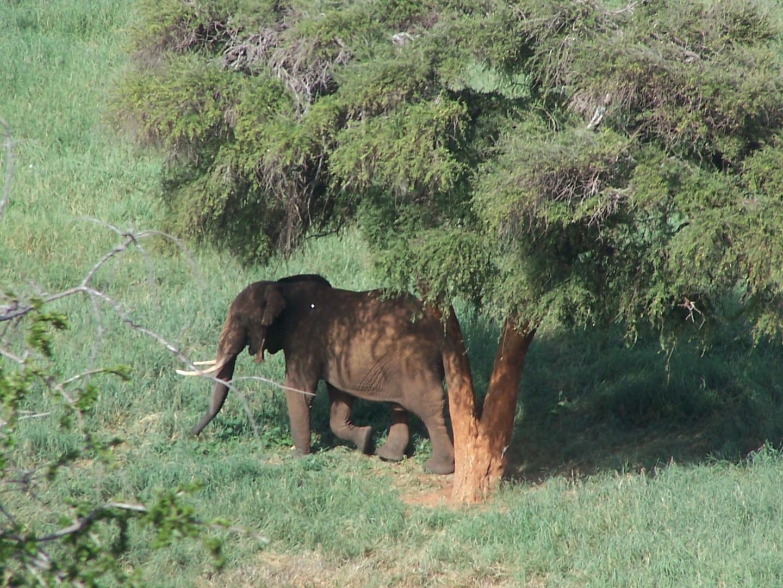 Elefant im Tsavo Ost Nationalpark