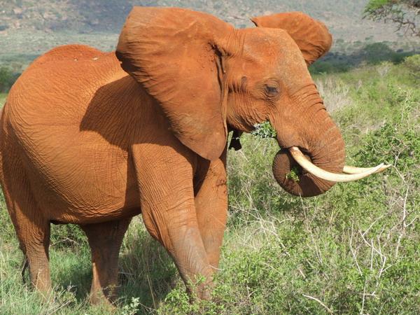 Elefant in Kenya