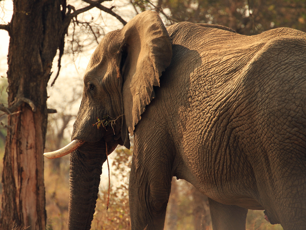 Elefant Krüger NP 1