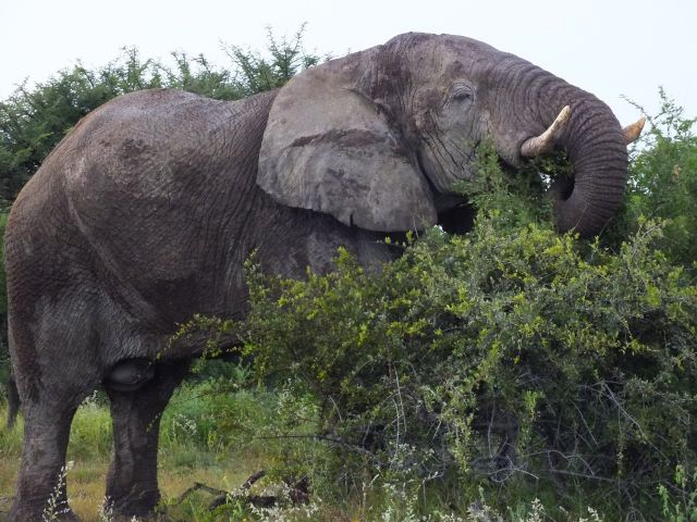 Elefant lässt es sich schmecken. (P)