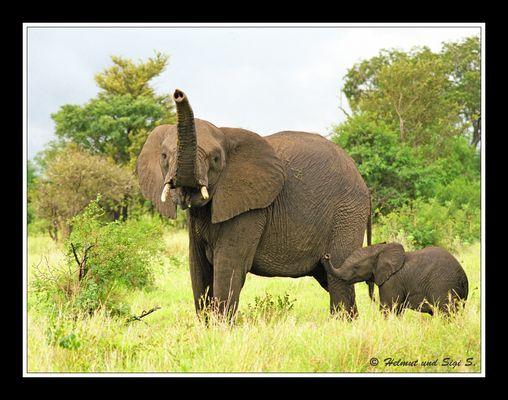 Elefant mit Nachwuchs, Südafrika
