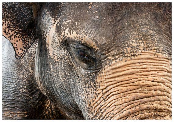 Elefant mit Pelz