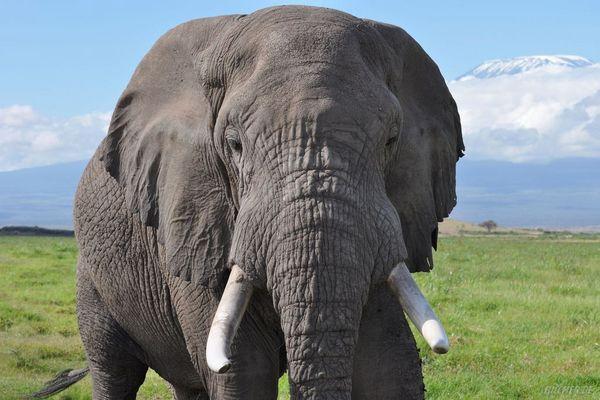Elefant neben dem Kilimanjaro (Amboseli Nationalpark, Kenia)
