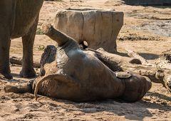 Elefant paniert #3