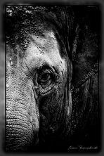 Elefant Portrait