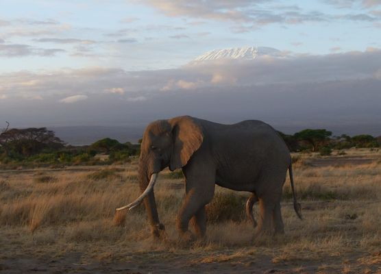 Elefant und Kilimandscharo 2.