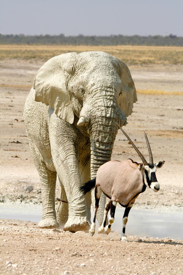 Elefant und Oryx - Revieranspruch