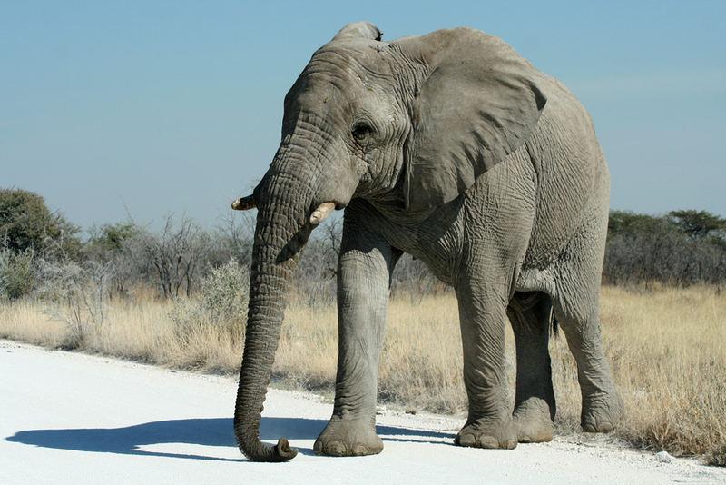 Elefant von rechts ...