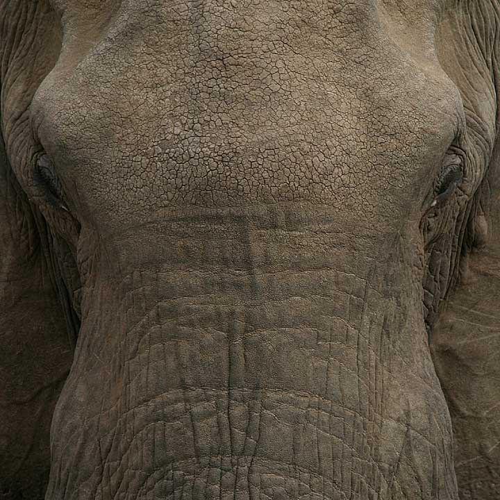elefant zeigt stirn