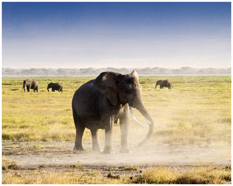 Elefante de Amboseli (Kenya)